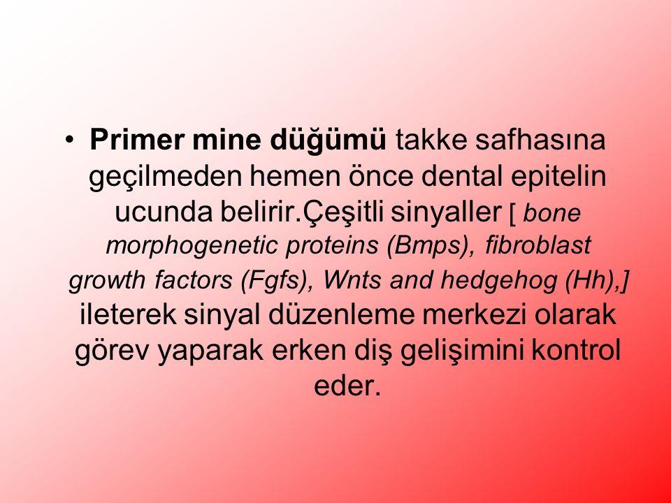 Primer mine düğümü takke safhasına geçilmeden hemen önce dental epitelin ucunda belirir.Çeşitli sinyaller [ bone morphogenetic proteins (Bmps), fibroblast growth factors (Fgfs), Wnts and hedgehog (Hh),] ileterek sinyal düzenleme merkezi olarak görev yaparak erken diş gelişimini kontrol eder.